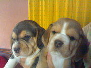 BEAUTIFUL TRI COLOUR BEAGLE  AT ATTRACTIVE PRICE